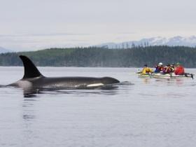 orca close to kayaks_luhm72
